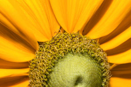 Close up of a young black eyed susan flower. Stock Photo