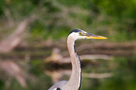 ciconiiformes: Great Blue Heron looking alert as he looks for his next meal.