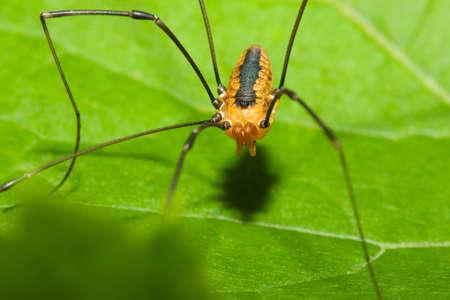 opiliones: Harvestman spider standing on a tree leaf.