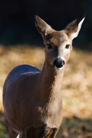 White Tailed Doe Looking into the camera. 스톡 콘텐츠