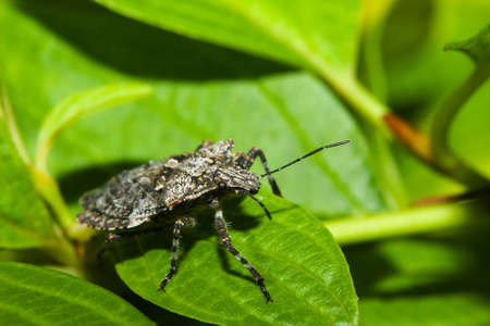 shield bug: Shield bug (Hemiptera, suborder Heteroptera) wallking on a plant leaf.