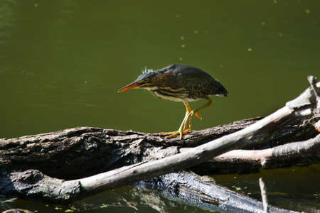 Green Heron quickly moving across a downed tree.