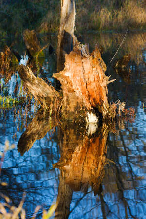 Waters reflection of a dry dead-wood stump. photo