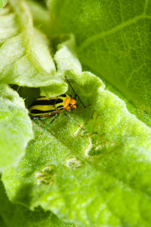 Four Lined Plant Bug hiding in a leaf.