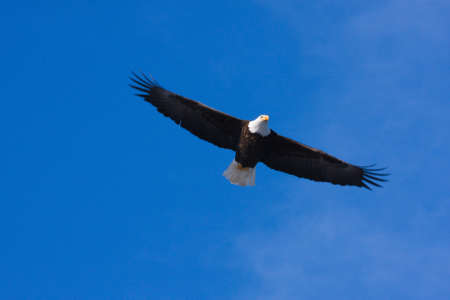 An image of an American Bald Eagle in Flight Imagens
