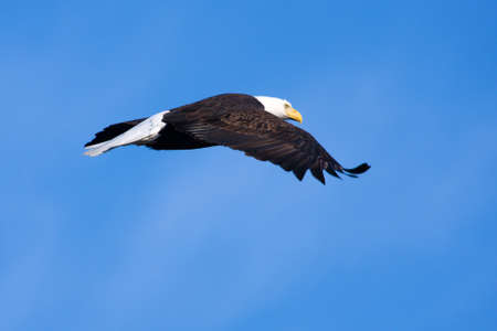 An image of an American Bald Eagle in Flight photo