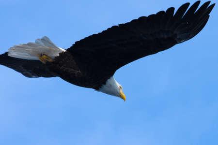bald eagle: Una imagen de un �guila calva estadounidense en vuelo