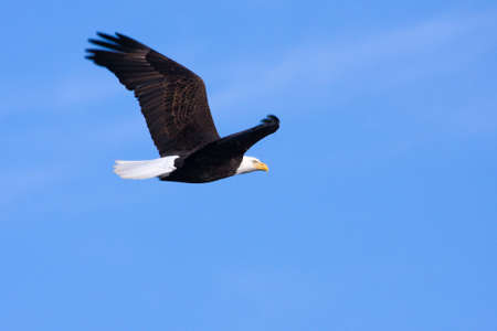 accipitridae: An image of an American Bald Eagle in Flight Stock Photo