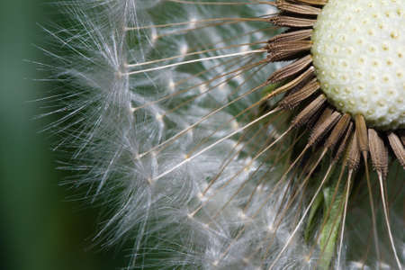 Close up macro of dandelion seeds ready to take flight. Stock Photo