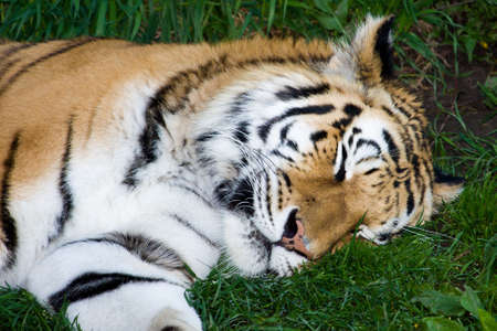 Bengal Tiger Sleeping in the grass at the zoo. photo