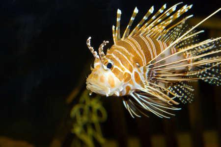dragonfish: Lion fish swimming by in an aquarium.