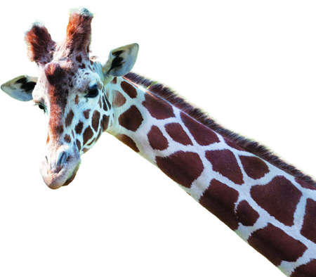 Portrait of a giraffe face and neck isolated. Stock Photo - 7116949