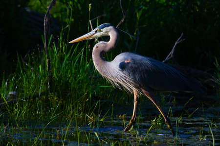 Great Blue Heron Fishing in the moring. photo