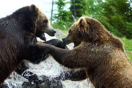 animal fight: Two Grizzly (Brown) Bears square off to fight.