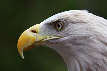 Close up head shot of an American Bald Eagle.
