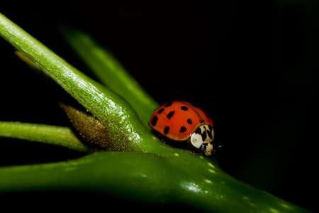 arthropoda: Asian Ladybug Beetle, (Harmonia axyridis) on a plant stem.