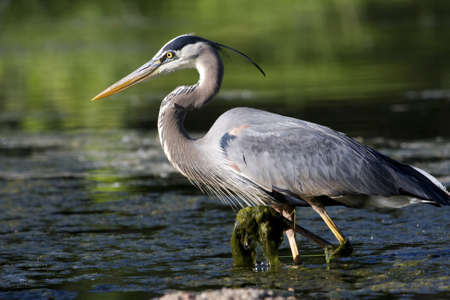 swampland: Great Blue Heron wading through the moss to find a meal. Stock Photo