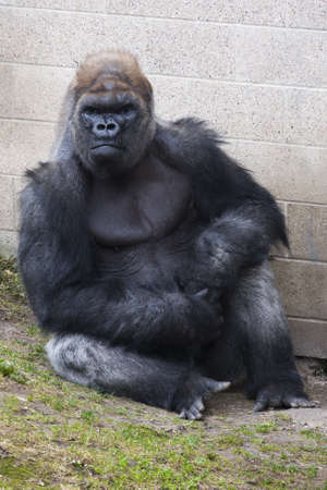 Gorilla leaning up against a wall at the zoo. Stock Photo - 9393269