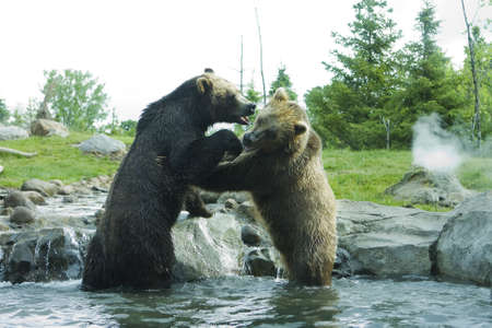 Grizzly (Brown) Bears in a playful fight. photo