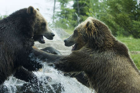 Grizzly (Brown) Bears in a playful fight.