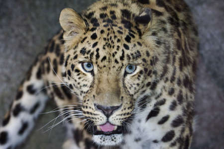 carnivorous: Amur Leopard looking directly into the camera. Stock Photo