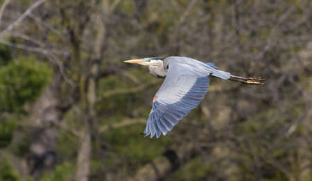 Great Blue Heron in flight to a new location. photo