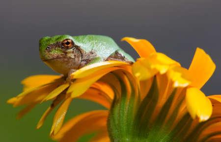 treefrog: Immature gray tree frog sitting on a daisy.