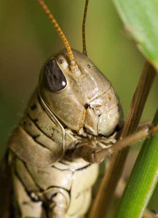 langosta: Primer plano de un permanente Grasshopper en una hoja de hierba. Foto de archivo