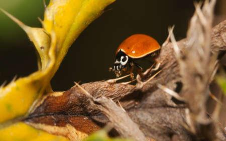 Asian Ladybug Beetle, (Harmonia axyridis) on a plant stem. Stock Photo - 10446760