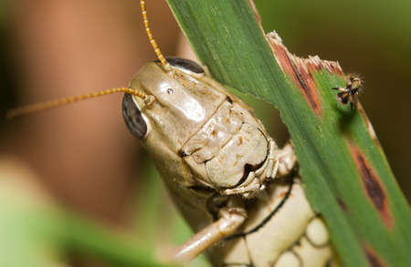 Close-up of a Grasshopper standing on a blade of grass. Imagens