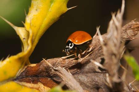 hexapod: Asian Ladybug Beetle, (Harmonia axyridis) on a plant stem.