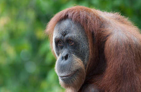 biped: Orangutan looks over the croud at the local zoo. Stock Photo