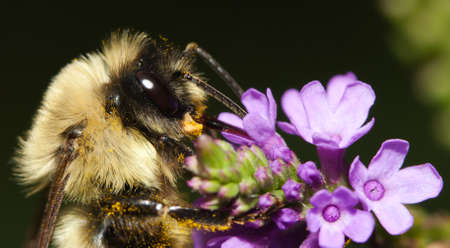 insecta: Golden Northern Bumblebee full of pollen on a purple flower. Stock Photo
