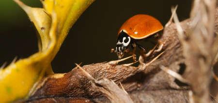 Asian Ladybug Beetle, (Harmonia axyridis) on a plant stem. Stock Photo - 10474987