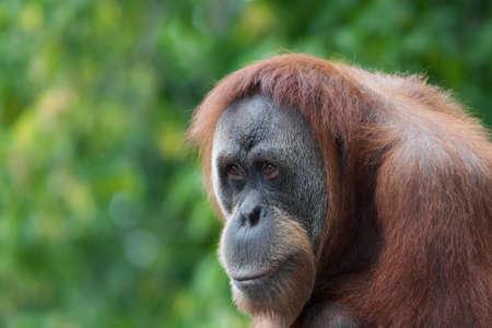 croud: Orangutan looks over the croud at the local zoo. Stock Photo