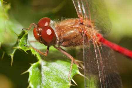 damselfly: Close-up of a red dragonfly. Big eyes. Stock Photo