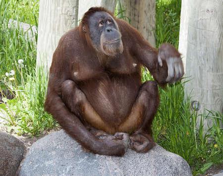 orang: Orangutan looking at something higher up than itself. Stock Photo