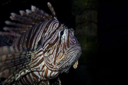 Lion fish swimming slowly in an aquarium.