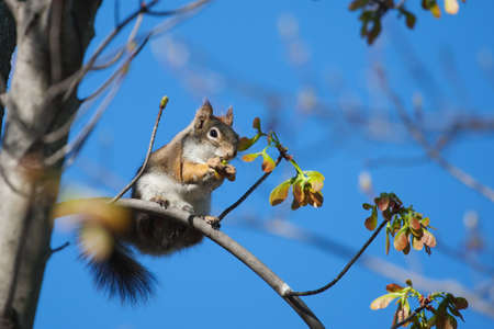 Ground squirrel eating high up in a tree  photo