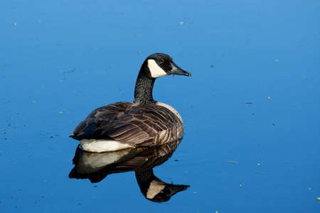Canadian Goose swimming in a calm lake  photo
