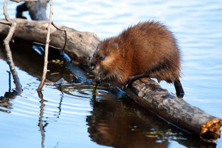 Muskrat eating while standing on a log in the water  Imagens