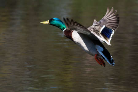 mallard: Mallard in flight and ready to land
