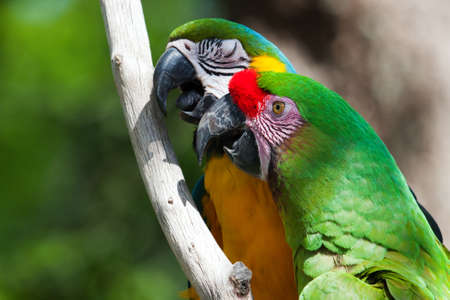 maccaw: 2 Colorful Macaw