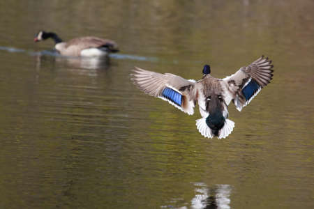 Male Mallard landing in a small lake  photo