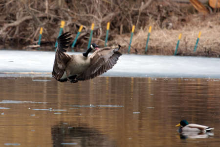 Northern Canadian goose landing in a pond. photo