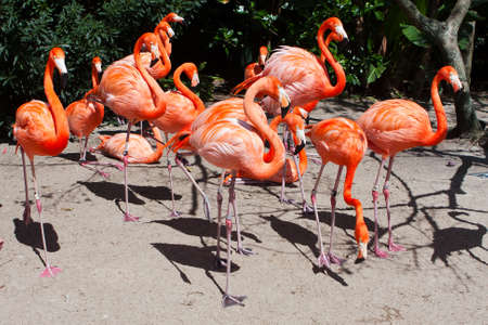 Group of Pink flamingos mingling at the zoo. photo