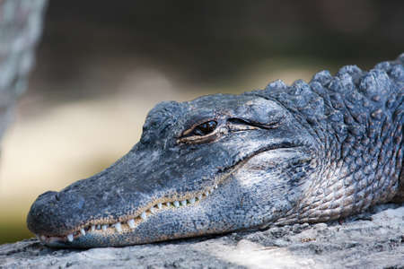 jawbone: American Alligator suns itself on a log. Stock Photo