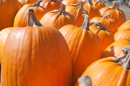 Pumpkins lines up during the Halloween holiday. photo