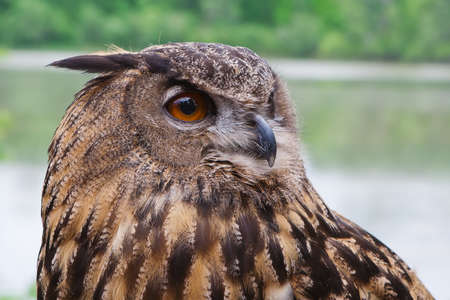 Great Horned Owl shot from close up. photo