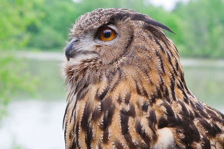 Great Horned Owl shot from close up.